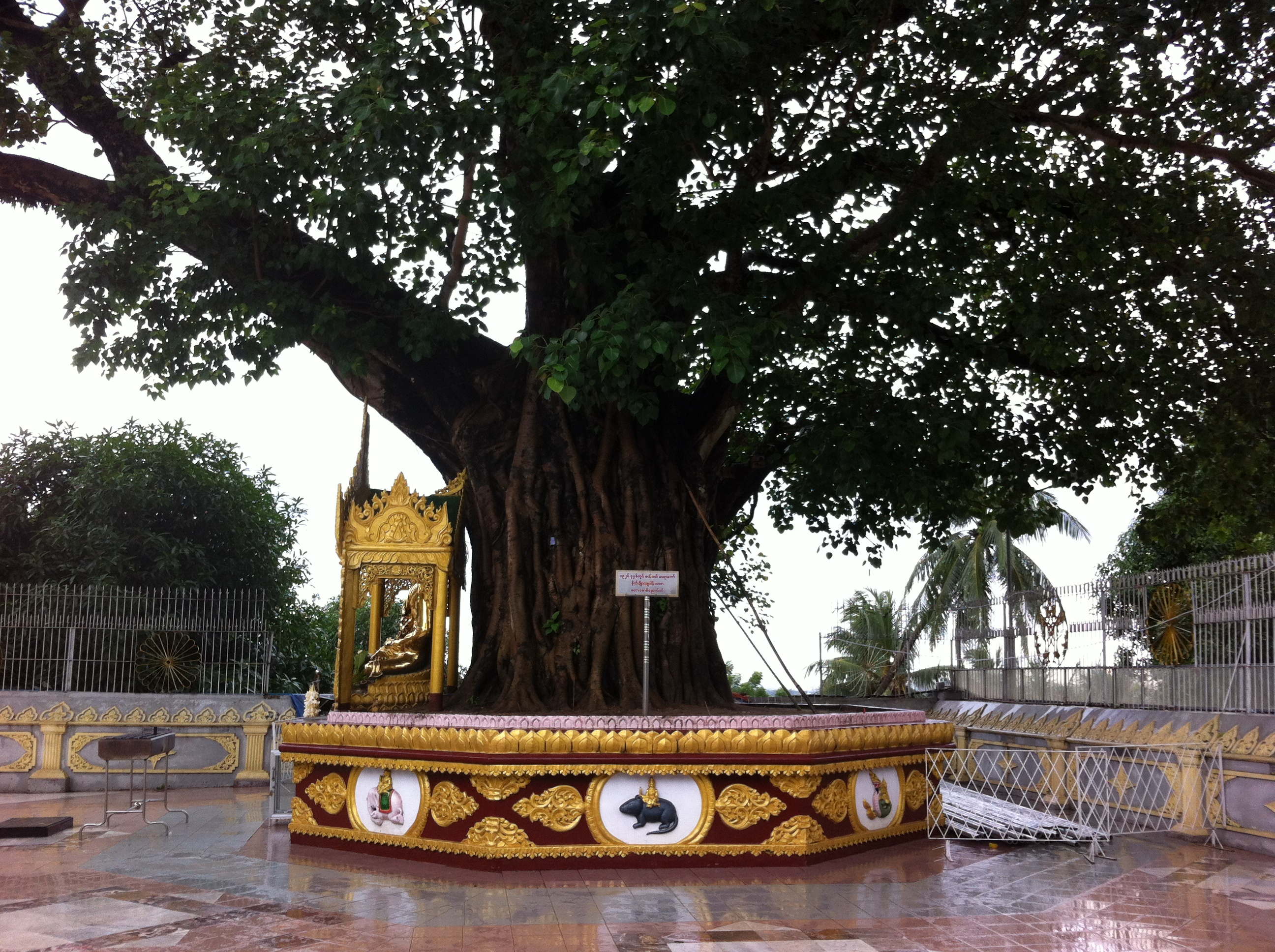 A Sacred Bodhi Tree at the south east corner of the pagoda terrace (photo Catherine Clover 2012)