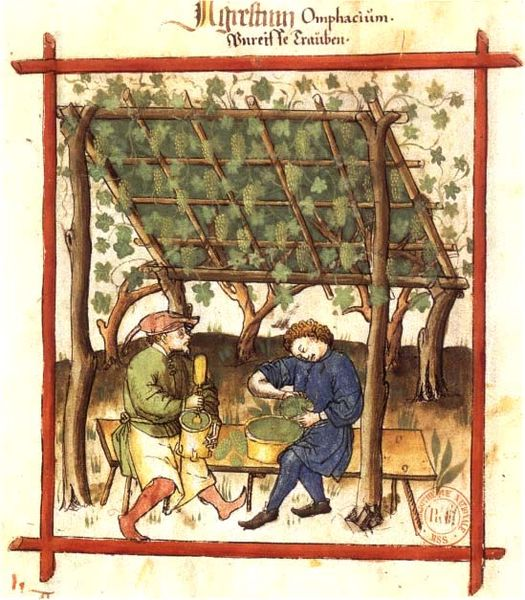 Picking green grapes for making verjus. Tacuinum Sanitatis  of 1474. Bibliothèque Nationale, Paris (Image in public domain)