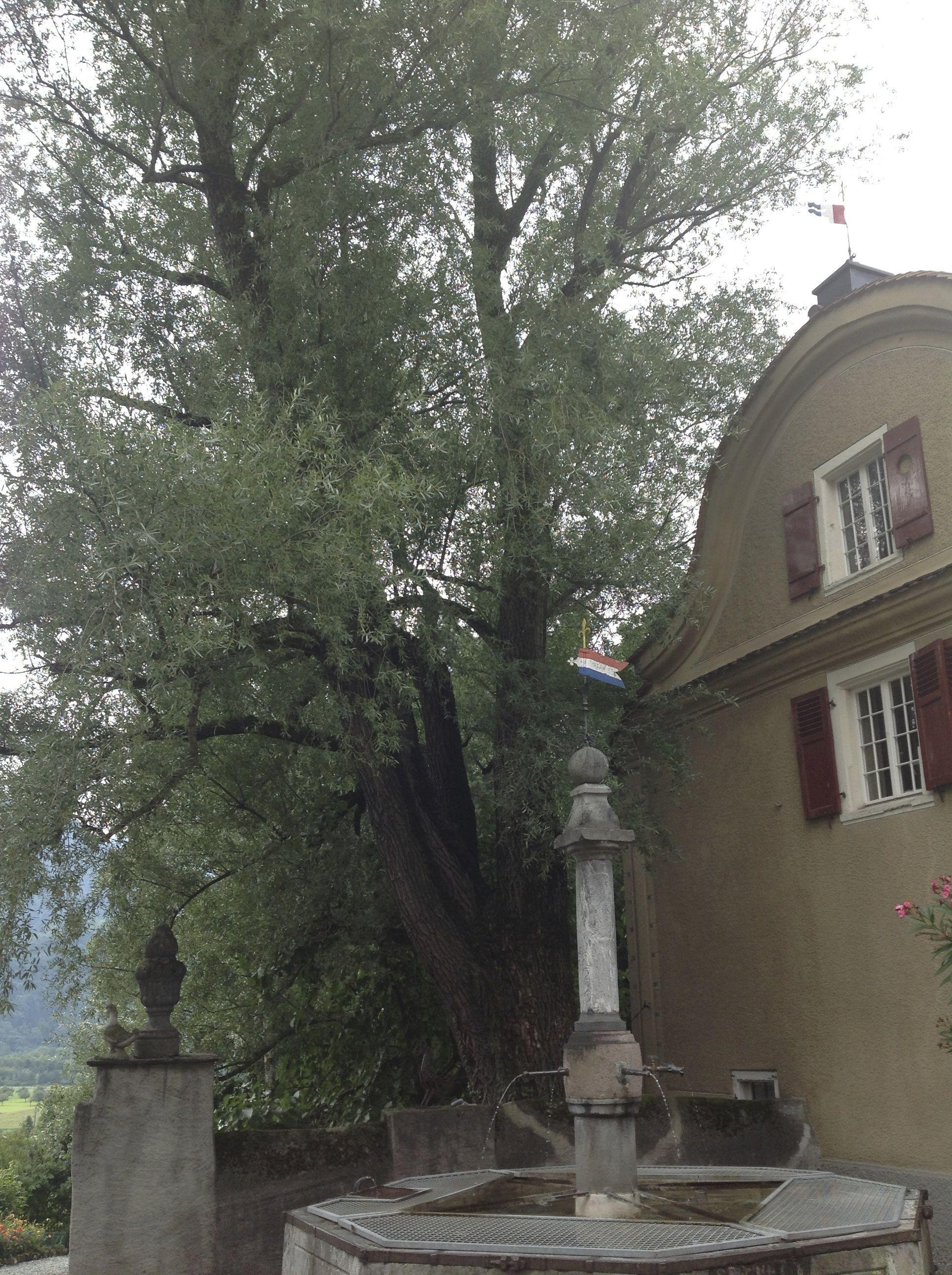 Willow (Salix) Tree in Schloss Salenegg Courtyard (Photo Patrick Hunt, 2013)